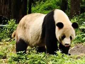 卧龙熊猫野外生存图片
