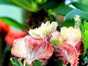 珊瑚仙人掌图片