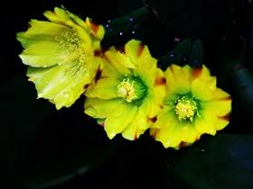 仙人掌开花了