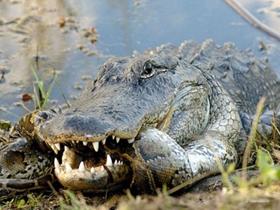 蟒蛇鳄鱼大战图片