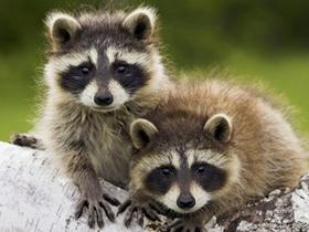 小浣熊高清图片