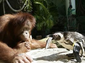猩猩给企鹅喂鱼