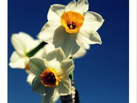 阳光下的水仙花图片