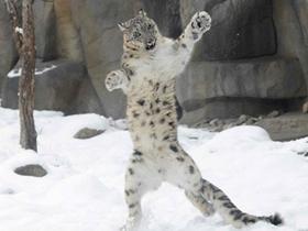 雪豹跳舞图片