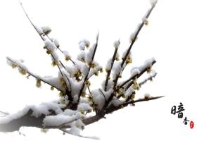 雪中腊梅图片