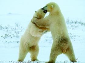 北極熊圖片