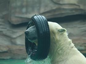 水中的北极熊摄影图组