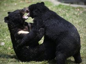 亞洲黑熊圖片