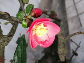 木瓜海棠开花了