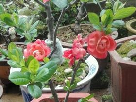 一些海棠花