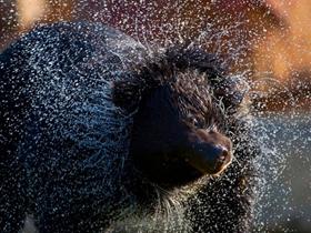 黑熊出浴瞬间
