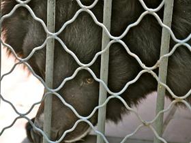笼子里的黑熊