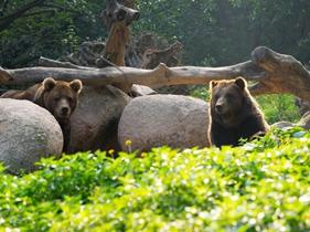 晒太阳的黑熊