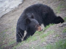 山上偶遇两只大黑熊
