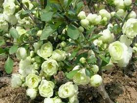 银长寿冠海棠