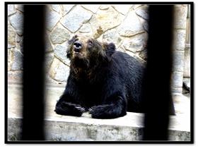 動物園里的亞洲黑熊圖片