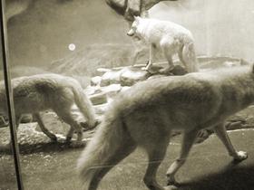 海洋馆里的北极狼与北极狐狸