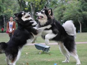 一群阿拉斯加犬的聚会