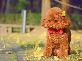 穿衣服的棕色泰迪犬