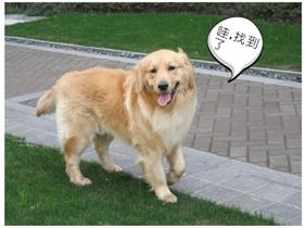 公园里的金毛犬
