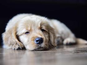 灰白色金毛犬图片