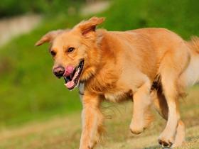 棕黃色金毛犬