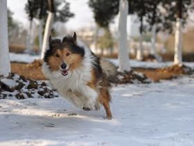 雪地中奔跑的喜乐蒂