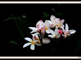美丽花开的鸡蛋花