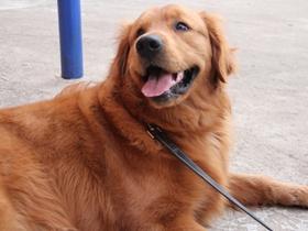 咖啡棕純種金毛犬圖片
