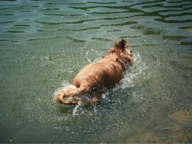 喜水的金毛犬圖片