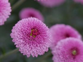 金山的菊花