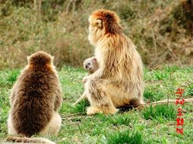 华阳金丝猴
