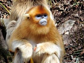 金丝猴靓丽风采