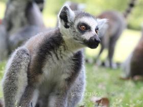 可愛的環尾狐猴