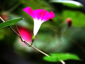 美丽的喇叭花
