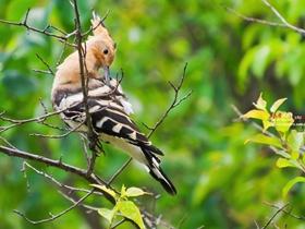 樹枝上的戴勝鳥