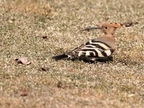 草地上的戴胜鸟
