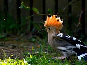 有王冠的戴勝鳥