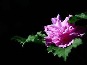 紫红色木槿花图片