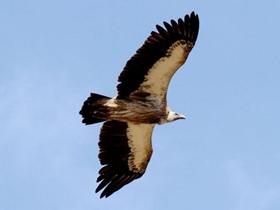 高原秃鹫图片