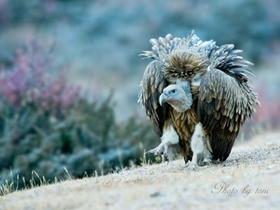 国度重点保护植物秃鹫