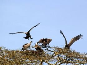 坦桑尼亚剪影秃鹫