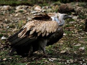 秃鹫是高原上的清道夫