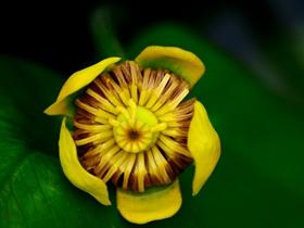 多年生草本黄金莲