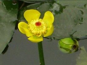 黄金莲欣赏图片
