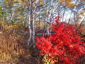 白桦林的多彩之秋