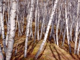 乌兰布统游记之白桦林