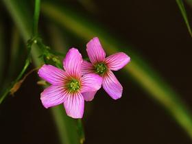 小小的红花酢浆草