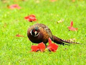 環頸雉雞的圖片