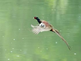 羽色華麗的雉雞